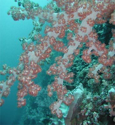 Underwater coral without color correction